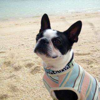 ここも沖縄。海の色とTシャツの色がリンクしてるっ【ボストンテリア すももちゃん #20】