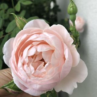 バラを育てる喜び