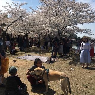 桜を楽しむのは人間だけではありません。ワンちゃん達もいました。