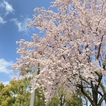 桜かと思いきや