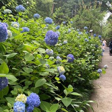 鎌倉の紫陽花が見頃です