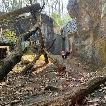 アルバムを振り返るたびに癒される可愛さ!多摩動物公園のレッサーパンダ