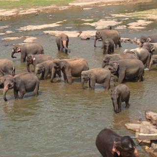 ピンナワラの象の孤児院@スリランカ