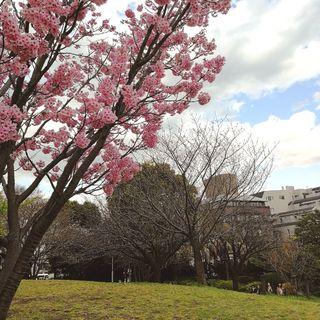 目黒川の桜はもう少し!_1_2-2