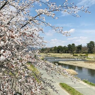 京都『桜』便り