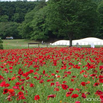 まるで海外みたい! 目で楽しむ♡ 国営武蔵丘陵森林公園の花畑
