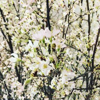 1月の東京で桜を観られるなんて?