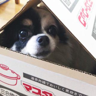 お鍋の空き箱の中に入ったら…【チワワ グミちゃん #21】