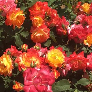 神代植物公園でバラ鑑賞