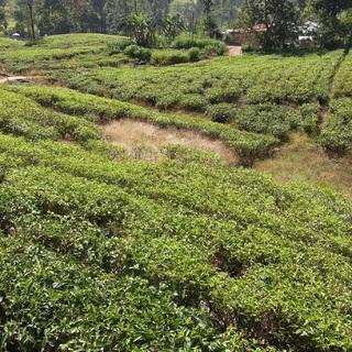紅茶畑と工場@スリランカ