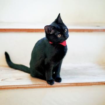 【あの人の溺愛ねこ図鑑 第4回】平野由希子さんの愛猫はボンベイの子猫クミン