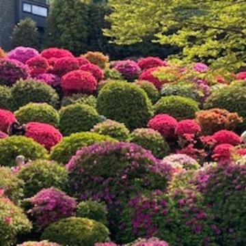 桜の次は鮮やかなつつじですね♪