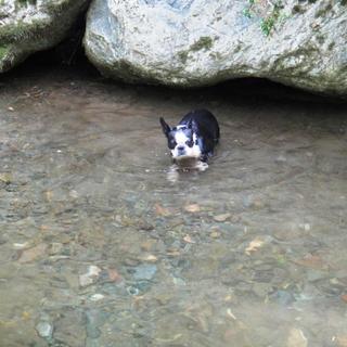 はじめての川遊び。おそるおそる泳いでみたよ【ボストンテリア すももちゃん #24】