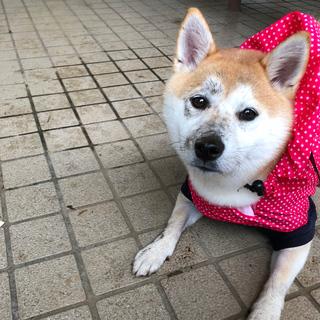 雨キライその② お顔がドロドロ・・・・・・【柴犬 ひなちゃん #10】