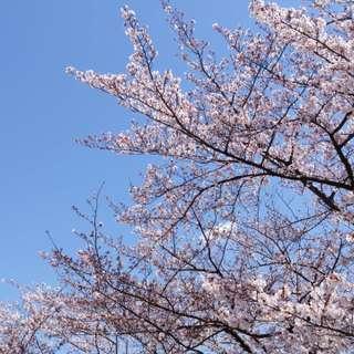 桜の綺麗なこの季節は