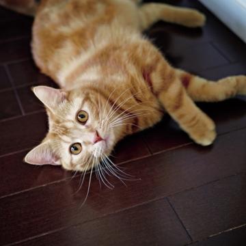 【あの人の溺愛ねこ図鑑 第3回】倉田真由美さんの愛猫はアメリカン・ショートヘアのれお
