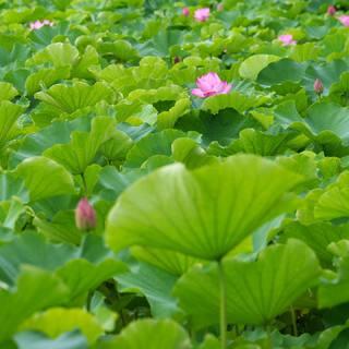 蓮の花咲く、朝の上野へ。