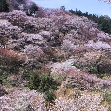 奈良吉野の千本桜と西宮夙川公園の桜♪