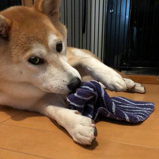 えっ。このタオルはもうあたしのだけど?【柴犬 ひなちゃん #7】