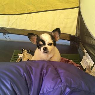 テントに泊まるのって気持ちいいね~【チワワ グミちゃん #6】