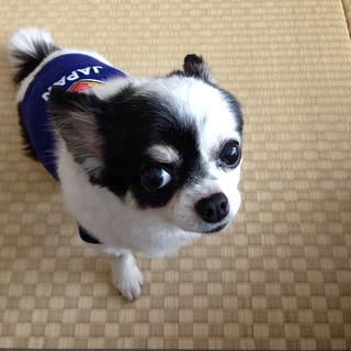 日本代表、応援したよ。【チワワ グミちゃん #24】