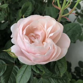バラを育てる喜び_1_1