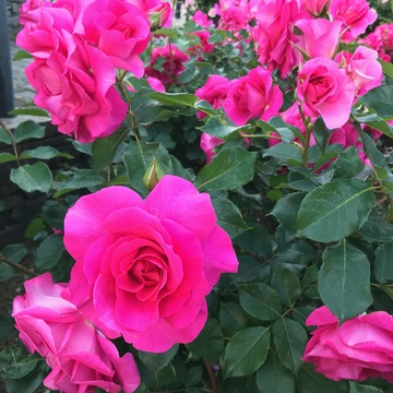 港が見える丘公園☀︎〜英国風庭園◎華やかな薔薇たち
