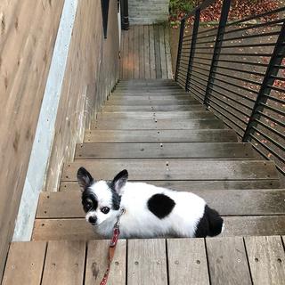 この階段、急じゃない?【チワワ グミちゃん #39】