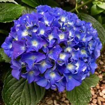 雨の日の紫陽花。