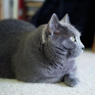 【あの人の溺愛ねこ図鑑 第7回】鹿島 茂さんの愛猫は美しいシャルトリューのグリ