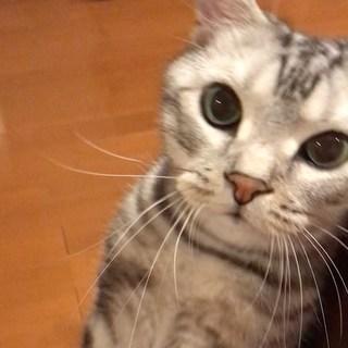「ごはんだよ!」と呼びに来る猫(動画)
