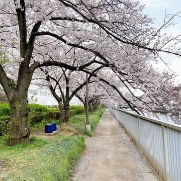 清澄白河の桜