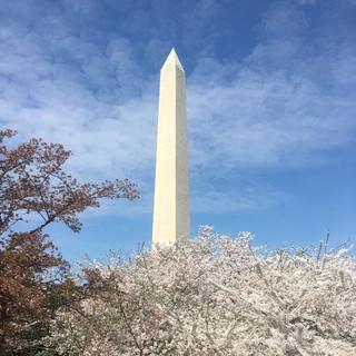 ワシントン、桜祭り