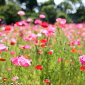 Jマダムの花物語:一面の花に癒されて