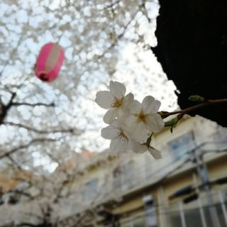 目黒川の桜はもう少し!_1_3-2