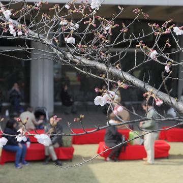 本館の前庭に設置される床几台に座ってお花見を。前庭への入場はフリーなので、周辺の桜散策の合間に立ち寄ってもOK