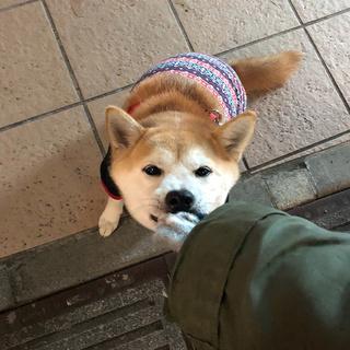 柴犬 ひなちゃん Photo Gallery