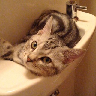 洗面台の中の子猫