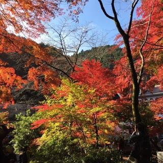高尾山、紅葉真っ盛り!見頃ですよー。