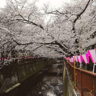 目黒川の桜はもう少し!_1_1-2