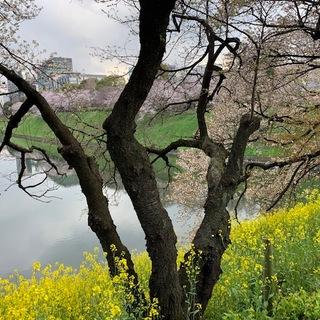 そうだ!桜を見に皇居へいこう♪