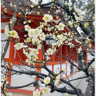 桜の前に出掛けてみませんか?京都で出会う梅の頃