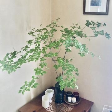 季節の枝物、香りで心地よく過ごす♪