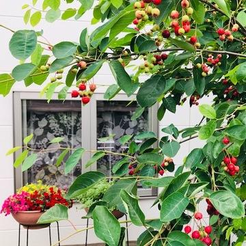 お庭の『ジューンベリーの実』*収穫してジャムに
