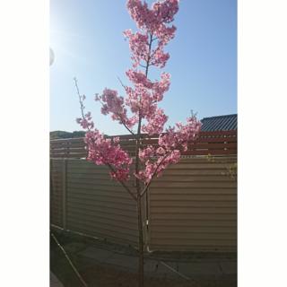 保育園の小さな桜の木