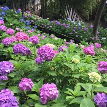紫陽花を愛でる その2