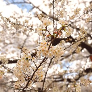 目黒川の桜はもう少し!