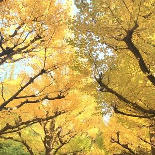 うっとりするような美しい銀杏並木